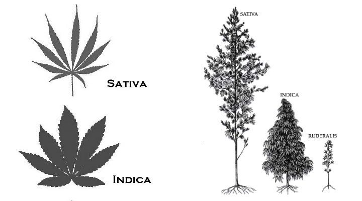 Cannabis Indica vs Cannabis Sativa