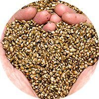 hemp seeds preview