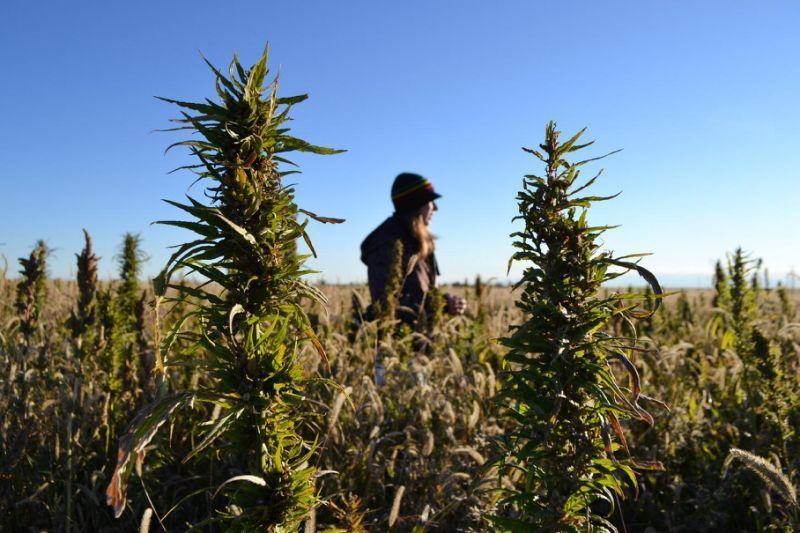 industrial hemp can help our farmers