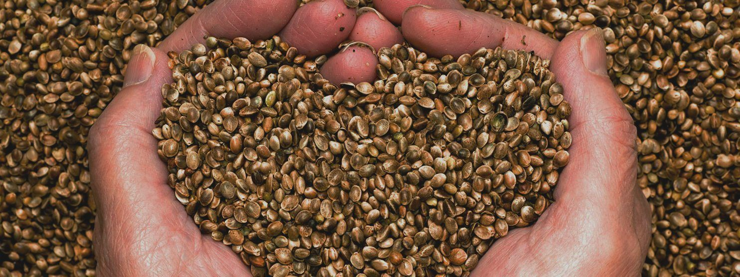 A pair of cupped hands holds a handful of hemp seeds. One of Courtney Moran's most recent court cases protected the right to send hemp seeds by mail.