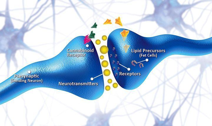 what is the endocannabinoid system and how does it work