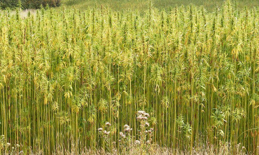 hemp crop field