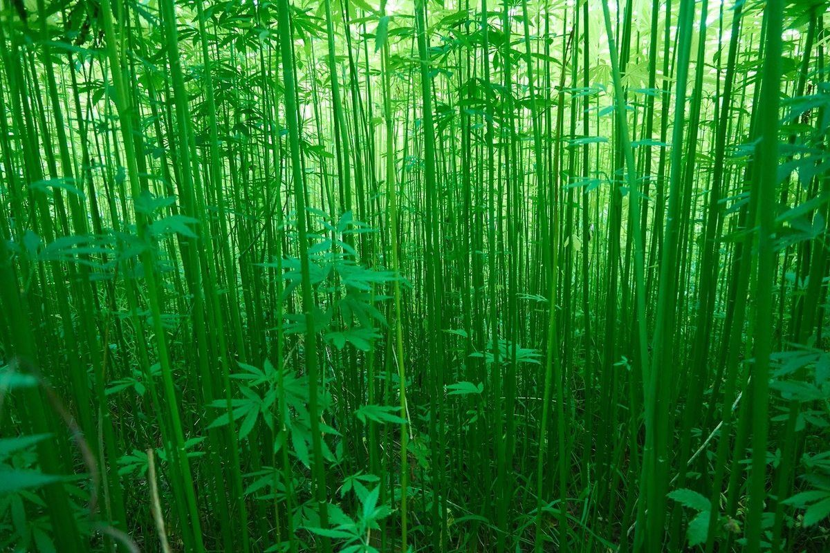 A dense field of green bamboo-like industrial hemp stalks grows tall in the summer sunshine. Industrial hemp can be harvested for thousands of uses including hemp fabric and fiber.