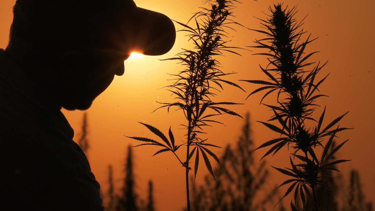 A hemp farmer surveys his crop at sunrise. Why grow hemp? Farmers grow hemp because it requires little maintenance and offers many uses.