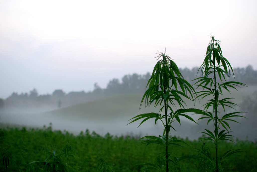 Hemp plants grow tall in a field on a foggy morning. Functional Remedies Clarify Hemp Tincture originates in specially bred hemp plants on their Pueblo, Colorado farm.