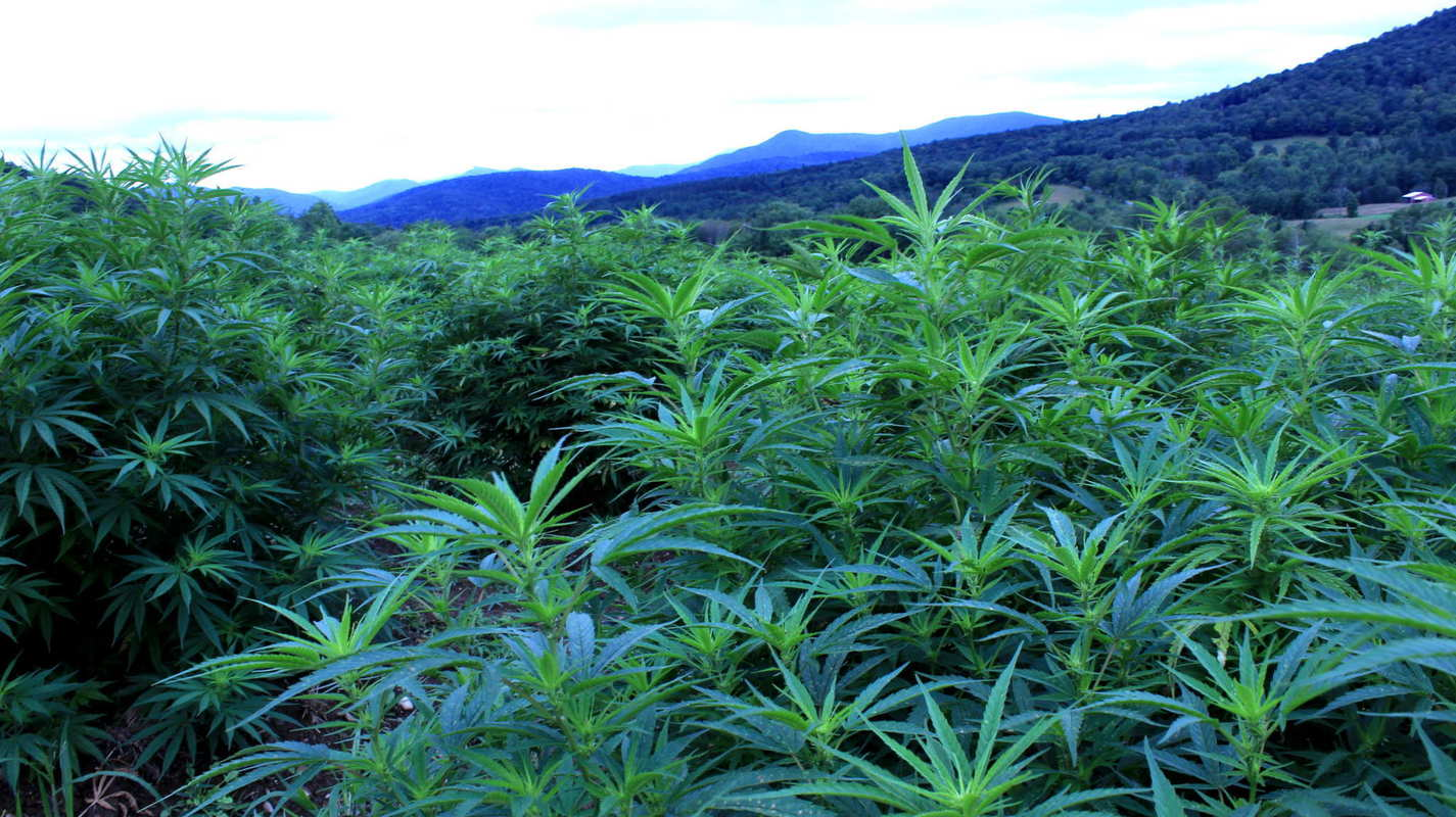 A massive, tall hemp field with the Vermont mountains behind it. Luce Farm, pictured here, is helping to create a growing hemp boom in the Green Mountain State thanks to Vermont's hemp laws.