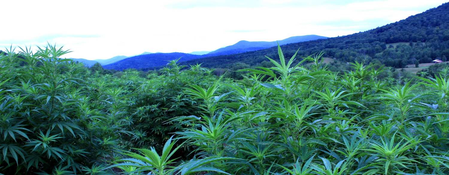 A hemp field with the Vermont mountains in the background. Luce Farm is a historic agricultural site that's now a Vermont hemp farm.