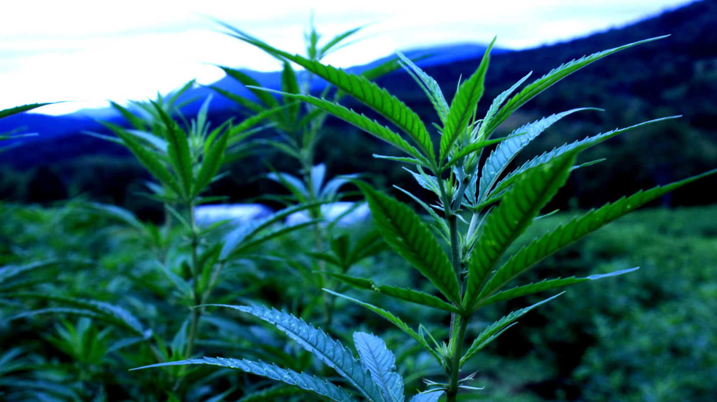 The hemp grows tall on 206 acre Luce Farm, with the Vermont mountains in the background.