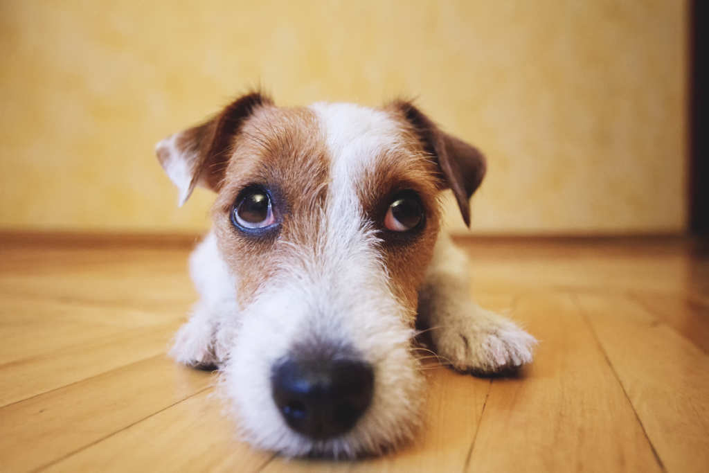 An increasing number of pet owners are using CBD oil for dogs with seizures. A cute dog, with sad eyes, looks at the camera over its long snout while crouched playfully on a wooden floor.