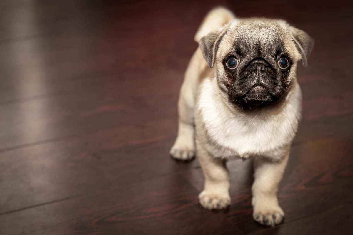 An dorable pug looks playfully at the camera while playing on a wooden floor. Even though CBD oil is a very safe choice for dogs with seizures, it's always important to consult with a veterinarian before beginning any treatment plan.