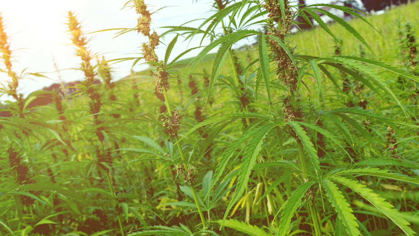 U.S. hemp acreage is growing rapidly despite a complicated tapestry of state hemp laws, which vary widely from place to place. Hemp plants grow tall and leafy in a densely packed field.