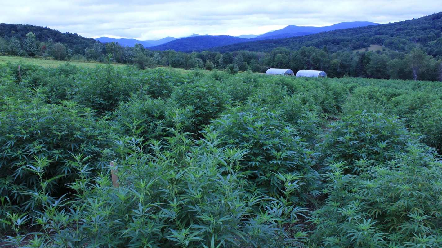 A densely packed hemp field at Luce Farm. Vermont's hemp laws are some of the most progressive in the nation.
