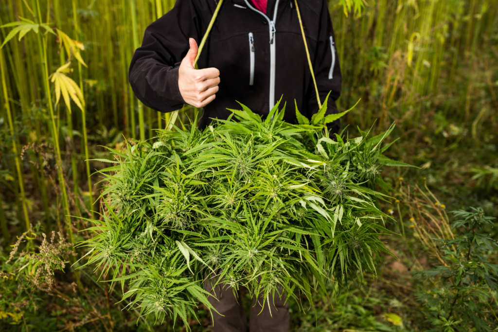 A person in a dark hoodie standing in a hemp field gives a thumbs up. In front of them is a huge pile of freshly harvested hemp. Increasing hemp acreage in the United States reveals this crop's immense economic potential.