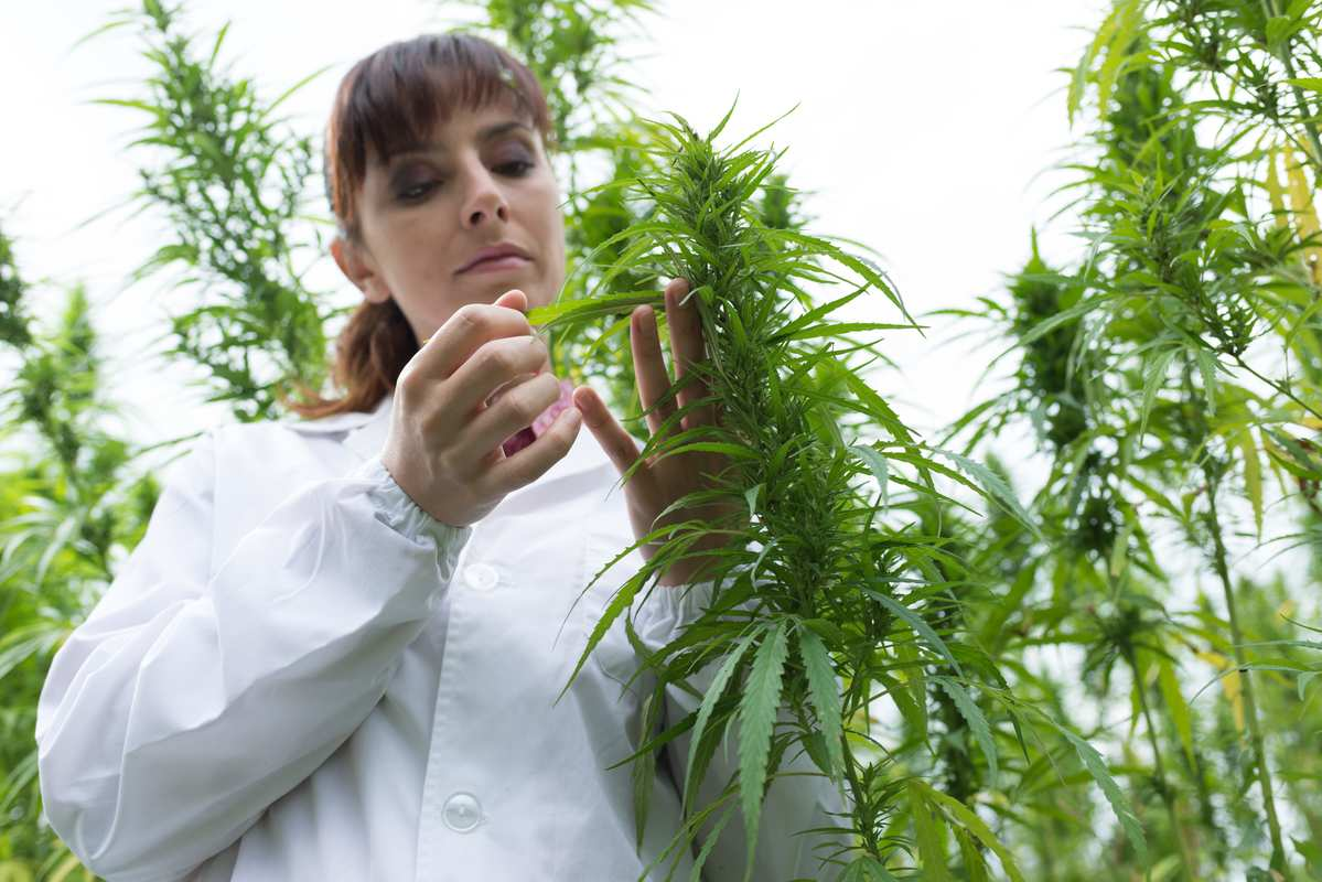 A researcher studies a hemp plant in a field. Hemp and cannabis contain numerous other cannabinoids beyond THC & CBD, the two most well-known natural compounds.