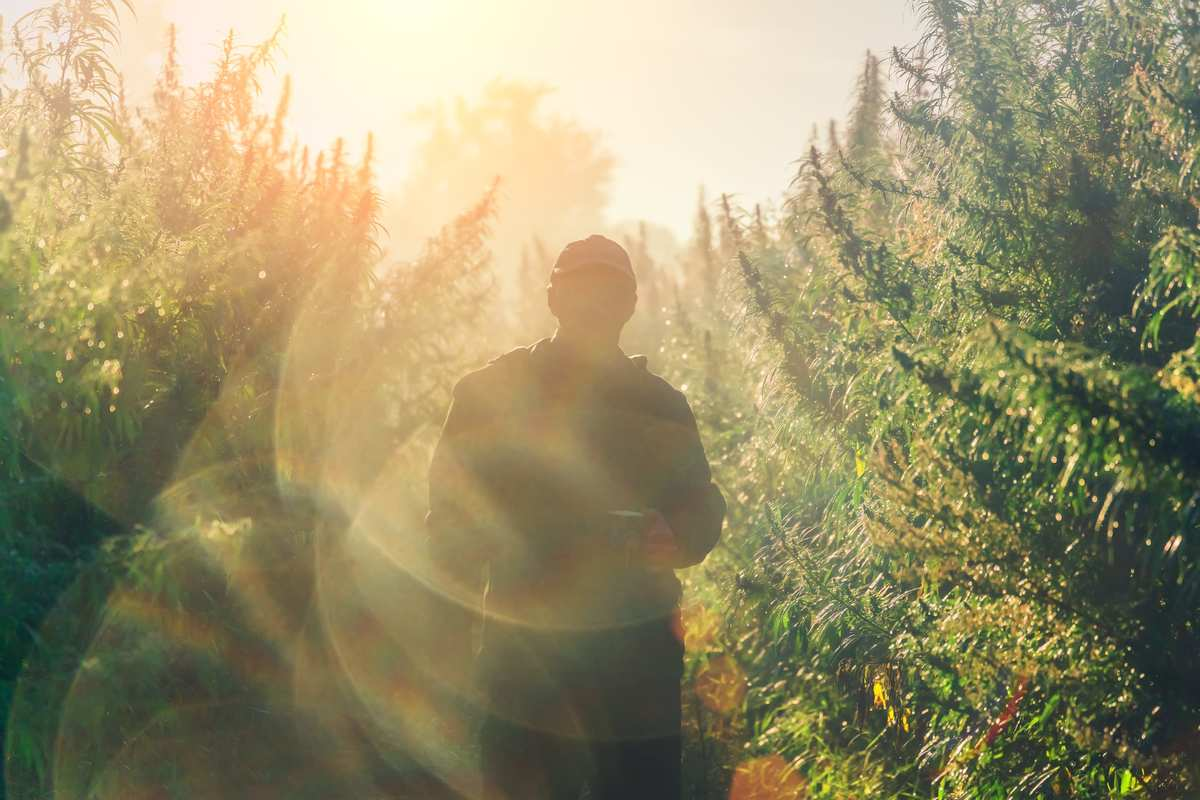 A farmer silhouetted in the sunlight in his hemp field. Hemp is back in a big way in America, and Ministry of Hemp is America's leading hemp advocate.