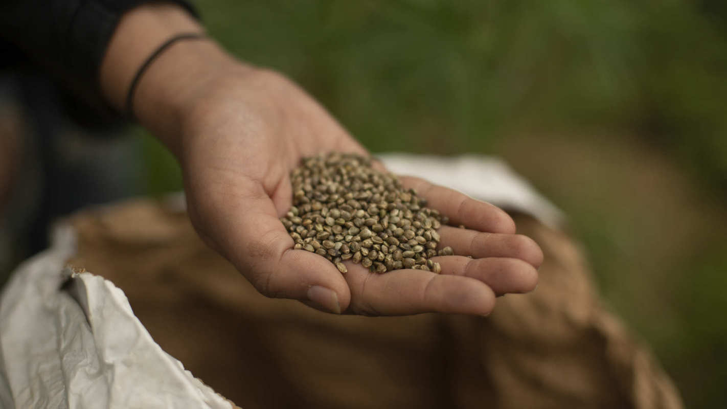 Photo shows someone's hand with a handful of hemp seeds pulled from a sack of seeds. Full traceability starts with certified agricultural hemp seeds that can be traced back to the source.