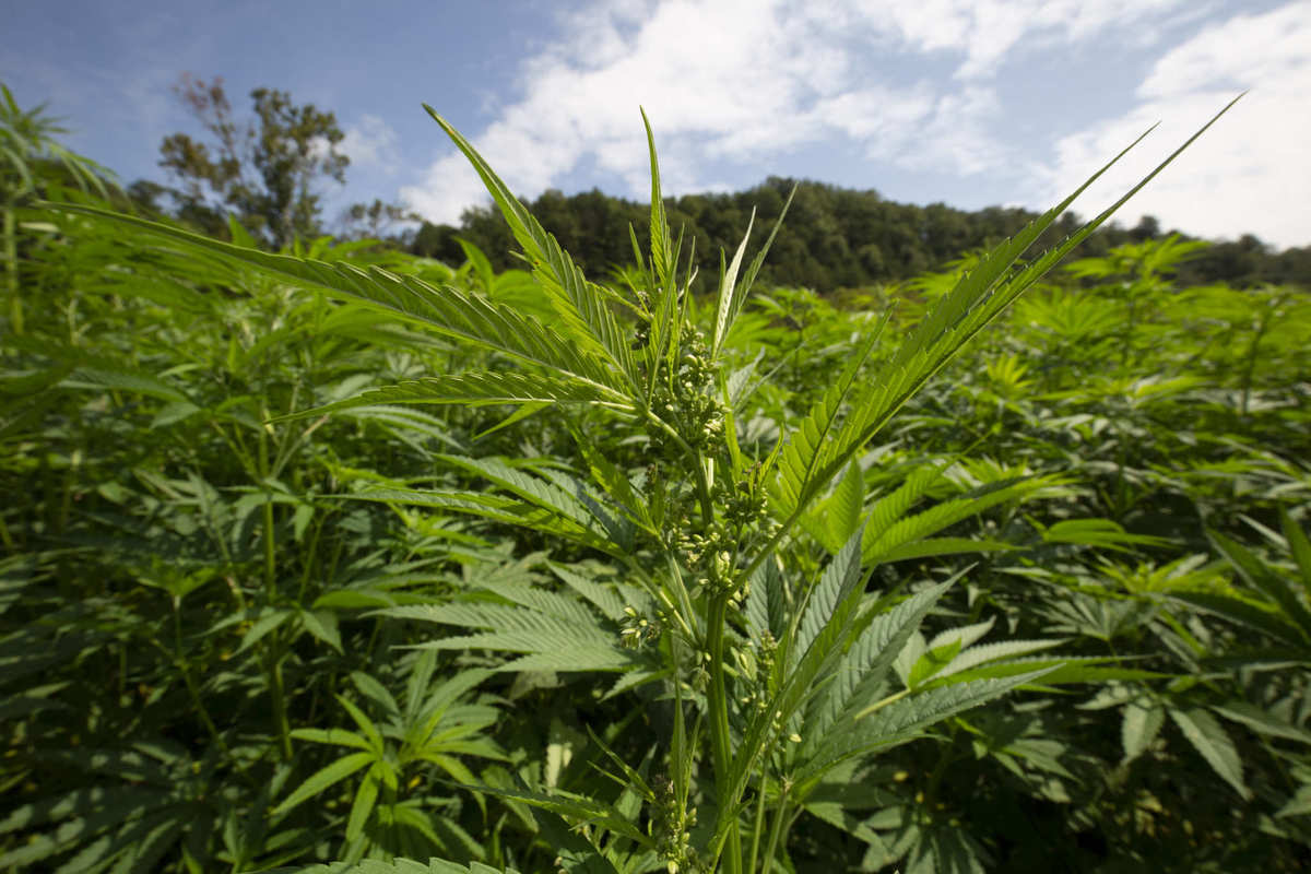 A densely backed hemp field under a partly cloudy blue sky, with rolling hills in the background. While hemp cultivation requires little to no pesticides, always ask for test results.