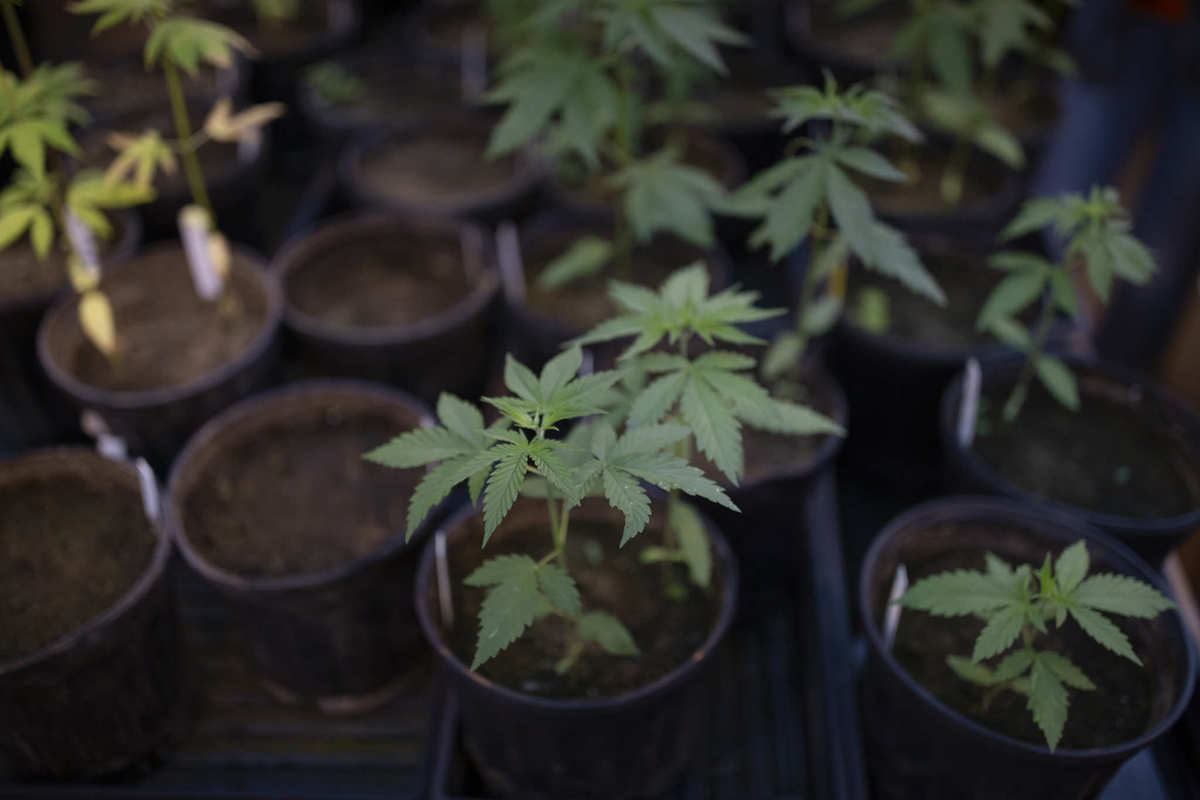 Photo shows a collection of hemp plants in pots waiting to go in the ground. Full traceability means responsible communication about hemp CBD products and where they come from.