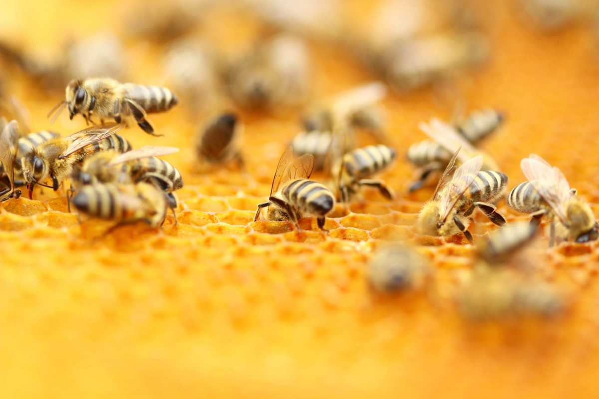 A close up photo of bees crawling on honeycomb. Many questions remain about how bees and hemp interact, including whether the plant's naturally occurring chemical compounds, or cannabinoids, have any effect on the insects.