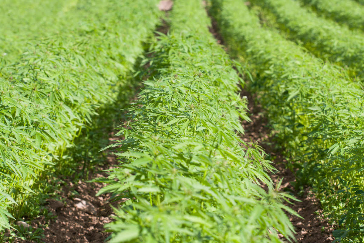 """A hemp field, with young green hemp plants growing in many long densely packed rows. Under current regulations on hemp in the UK, farmers are forced to destroy large portions of the plant, while simultaneously the UK imports """"millions of pounds worth of CBD"""" every year."""