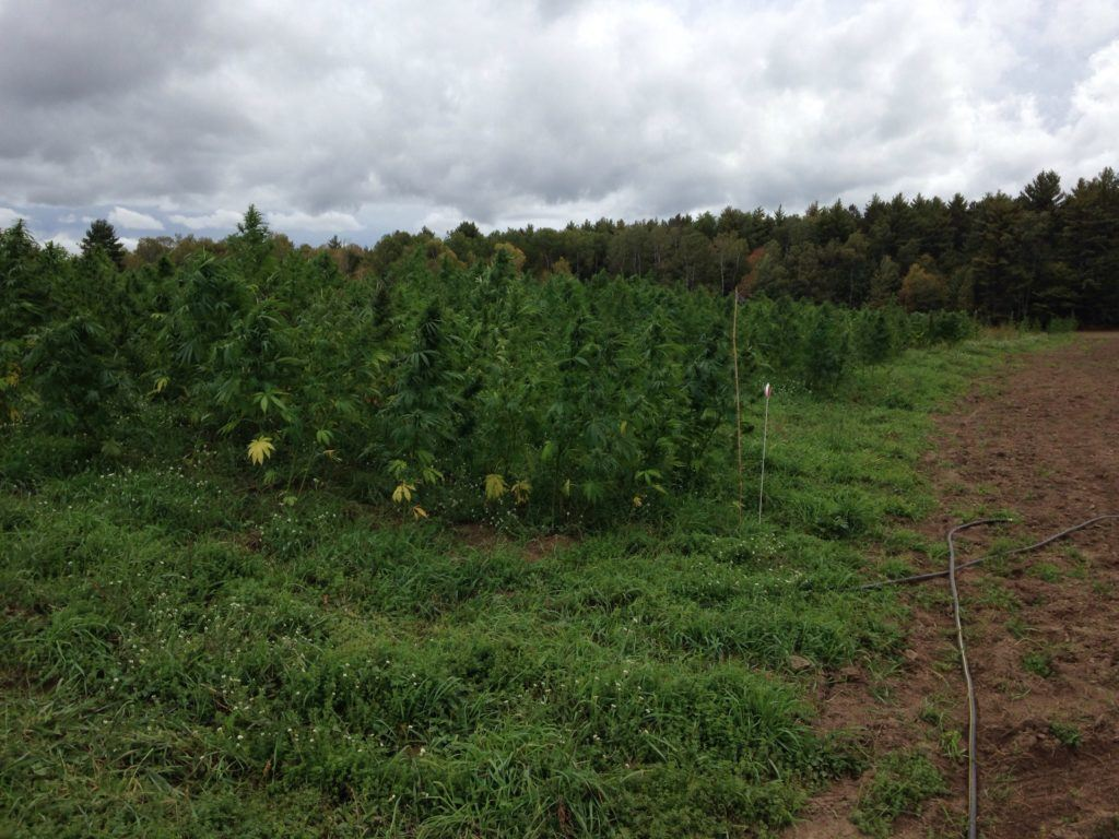A densely packed hemp field grows tall under a partly cloudy sky, a forest in the background of the field. Marc Grignon helped legalize hemp in Wisconsin after police raided a Menominee hemp field in 2015.