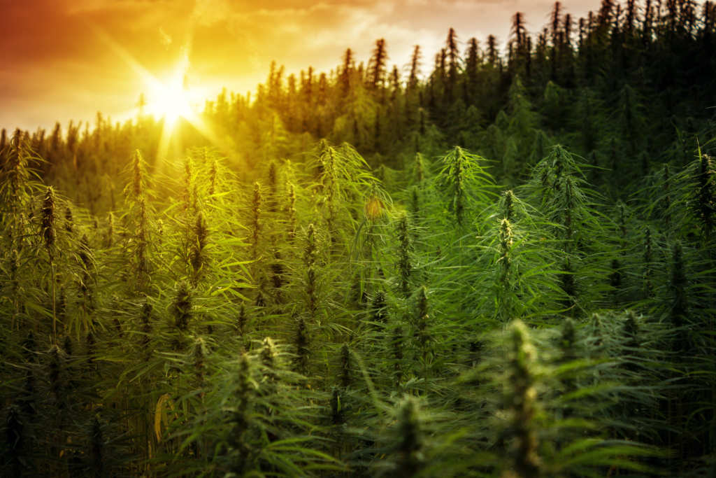 The sun rises over a huge, densely packed hemp field. After decades of prohibition, the 2018 Farm Bill brings legal hemp back to the United States.