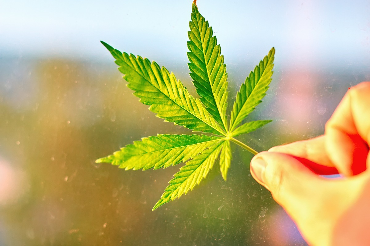A hand holding a hemp leaf. Growing hemp in the UK was illegal from 1928 to 1993, and many legal barriers remain.