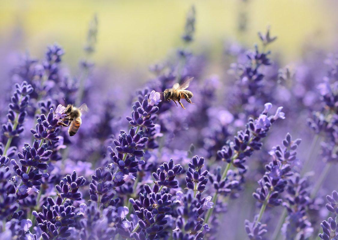 Bees pollinate from a field of lavender. If you can't find the terpenes you want in your hemp supplements, you may be able to supplement by adding other natural plants like lavender, which is high in nerolidol.