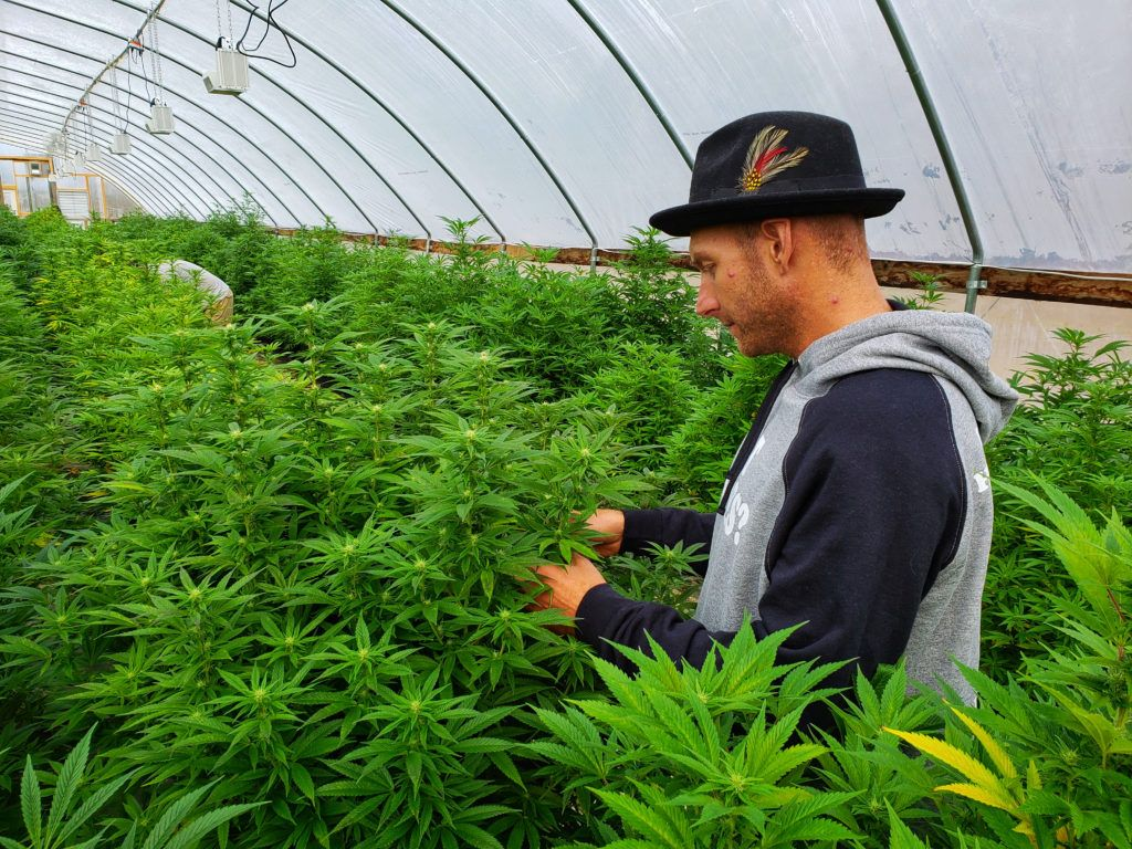 A hemp farmer inspects his crop in a massive greenhouse densely packed with industrial hemp plants. The 2018 Hemp Report from Vote Hemp revealed that US hemp acres tripled between 2017 and 2018.