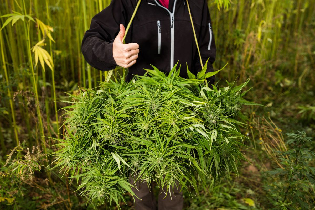 Seen from the shoulders down, a farmer in a black hoodie gives a thumbs up while posing with a basket of freshly harvested hemp.
