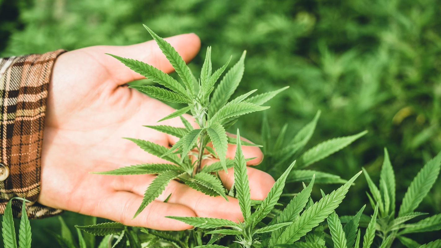 A hand holds the top of an industrial hemp plant in a dense hemp field for closer examination. In Ministry Of Hemp Podcast episode 1, host Matt Baum is learning about hemp and CBD and you can learn along with him.