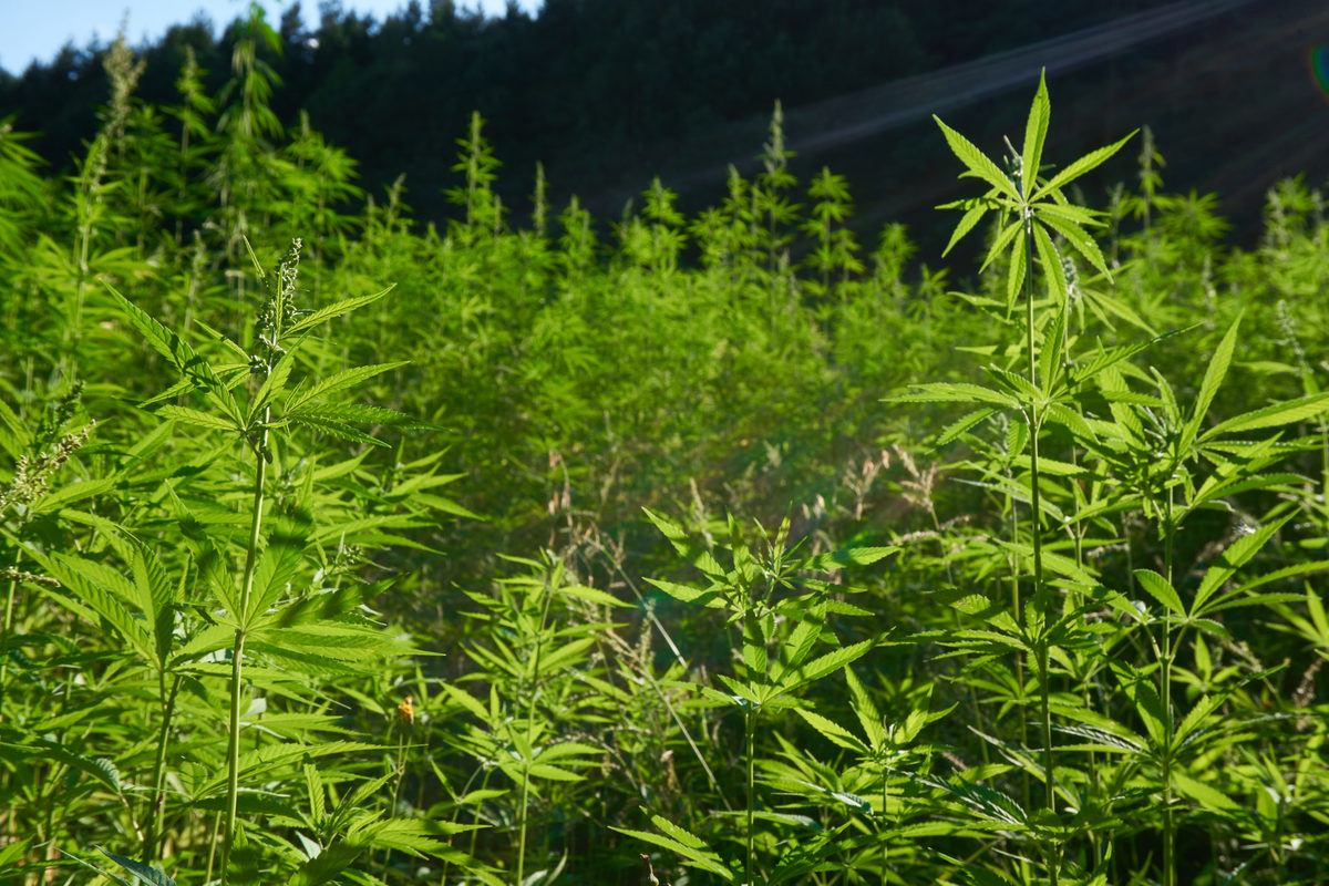 A densely packed hemp field in front of a tree-lined hill. Since hemp can absorb toxins from the soil, it's vital to know the source of all ingredients in CBD supplements.