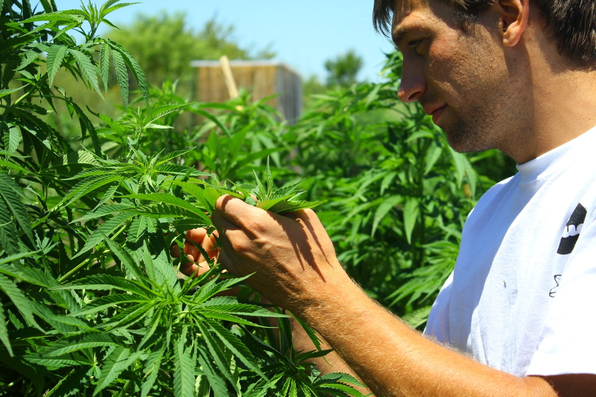 Damian Collazo, a grower with CLUC, one of Uruguay's first cannabis clubs, examines plants in their cannabis farm. Although recreational cannabis is legal, access to CBD in Uruguay is limited. CLUC cannot legally sell CBD products.