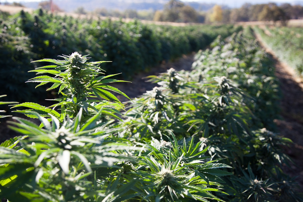 For the first time, the US now ranks among the top hemp growing countries. Photo: A dense hemp field of industrial hemp grown for CBD in Oregon.