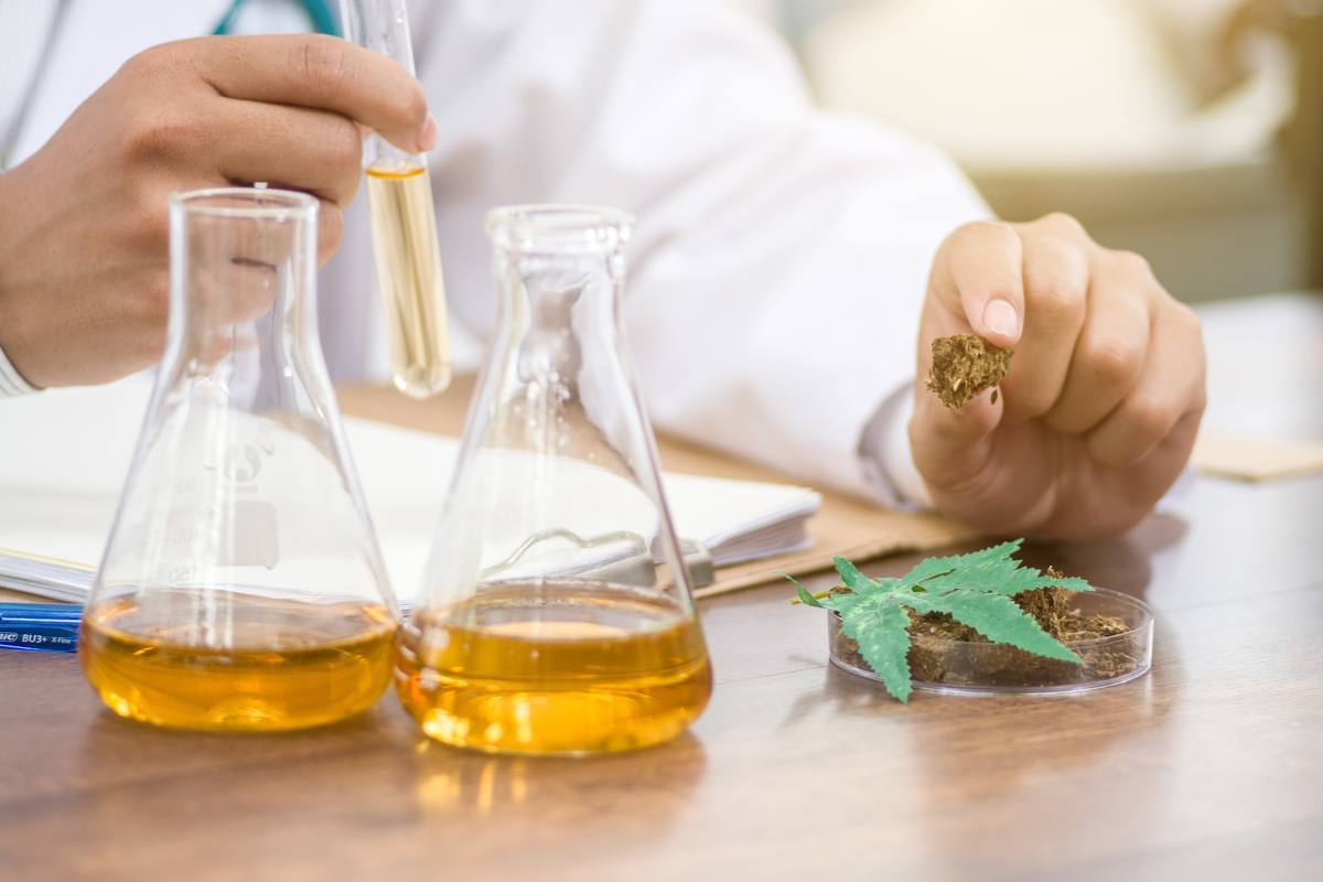 Photo: Cannabinoid science in progress, as a researcher studies hemp buds and leaves with beakers of amber fluid nearby.