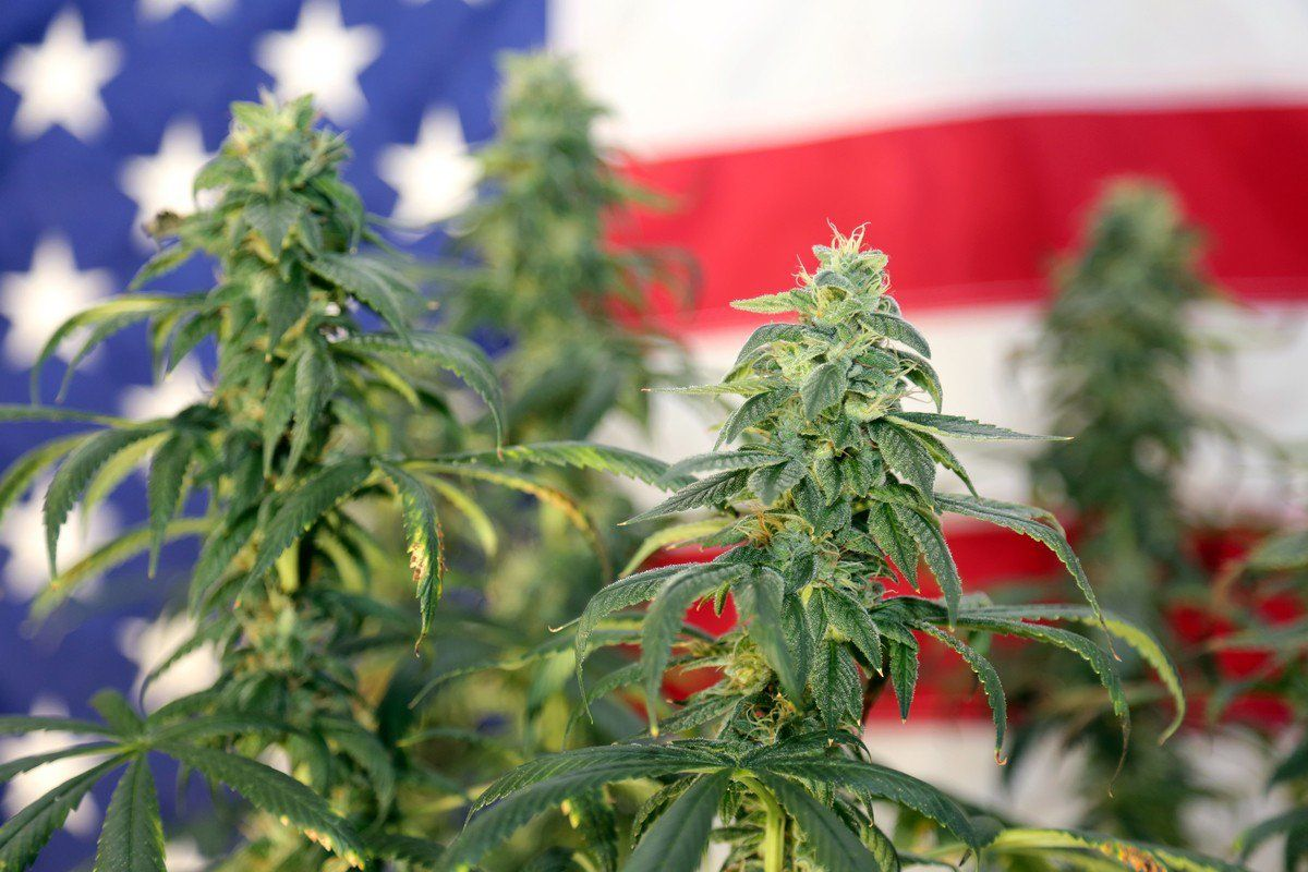 A small cluster of live hemp plants photographed against the backdrop of an American flag.