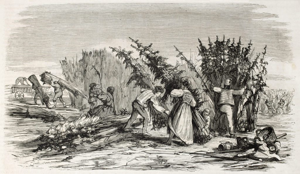 A historic image of a hemp harvest. The history of American hemp is a dramatic rise and fall, from widespread acceptance to total prohibition.
