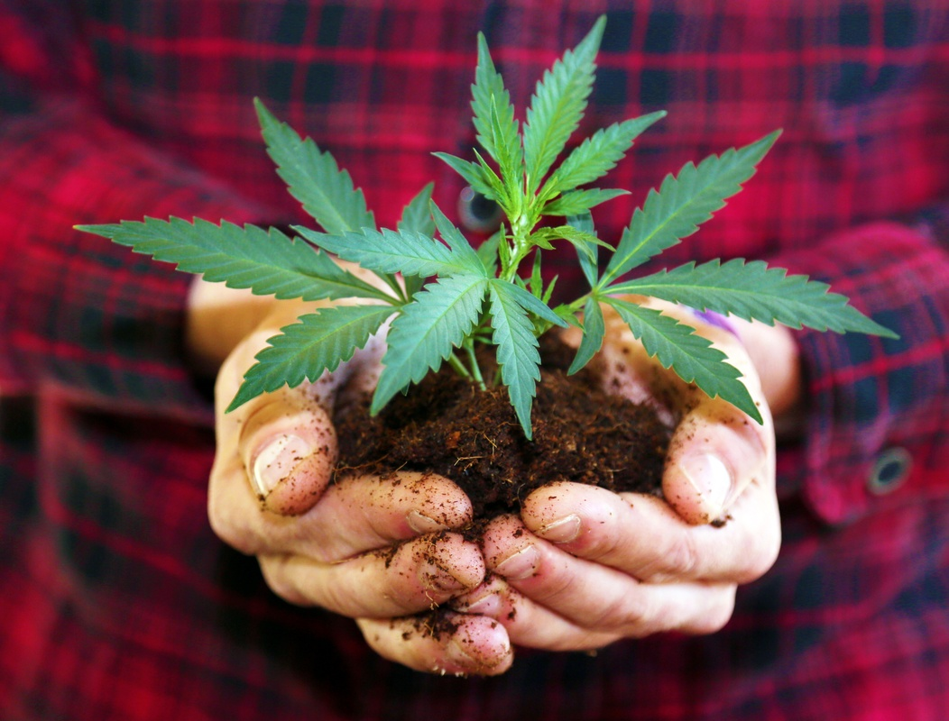 Feminized hemp, which produces no seeds, may be the future of CBD and hemp extract. Photo: A farmer in a flannel shirt holds a hemp seedling in soil in cupped hands.