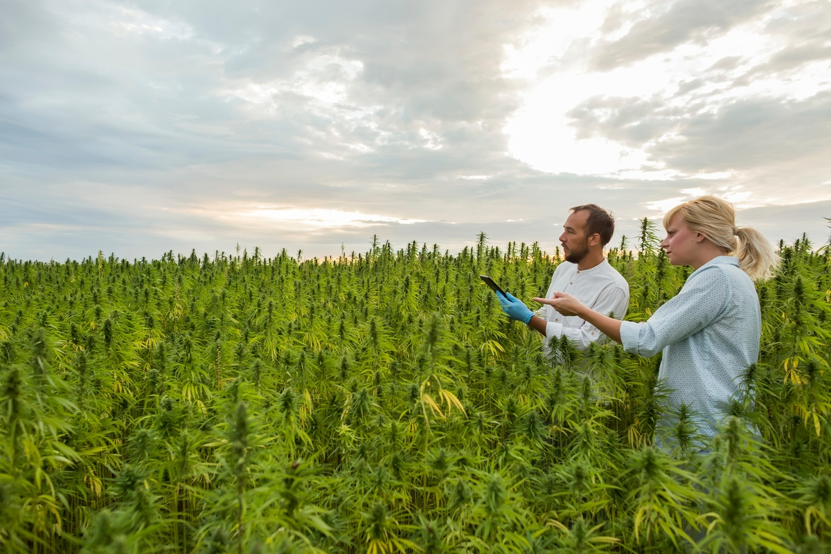 Hemp growing licenses increased over 400% this year, but far less hemp will make it to harvest. Photo: Two farmers survey a field of growing hemp under a cloudy sky.