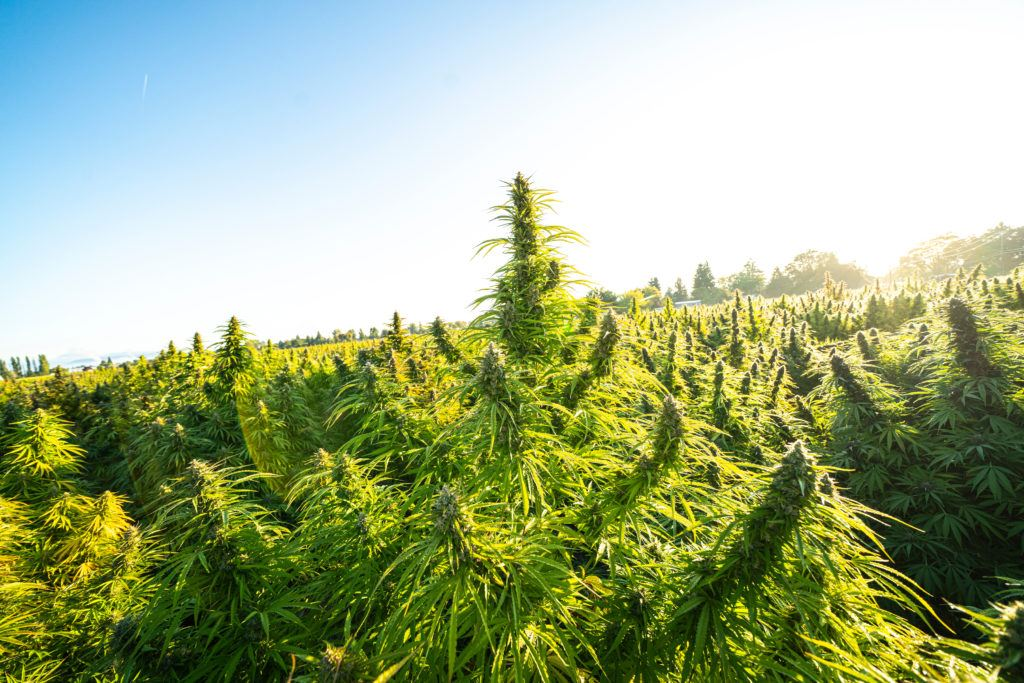 Photo: Hemp grows tall in a hemp field outdoors, under a blue sky.