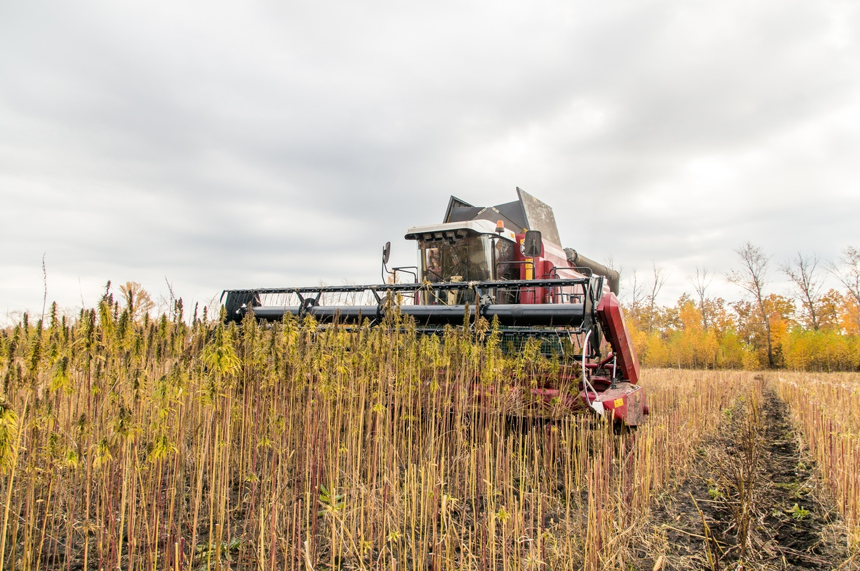 In this episode we answer questions about industrial hemp, hemp fabric, and using CBD safely. Photo: A farmer uses a tractor to harvest industrial hemp.