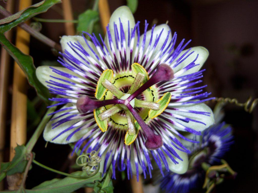 Some studies suggest that natural compounds found in passionflower may promote relaxation and sleep. Photo: A beautiful, colorful passionflower in bloom.