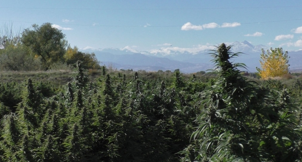 Photo: A field of organic hemp growing outdoors, with trees and mountains in the distance.