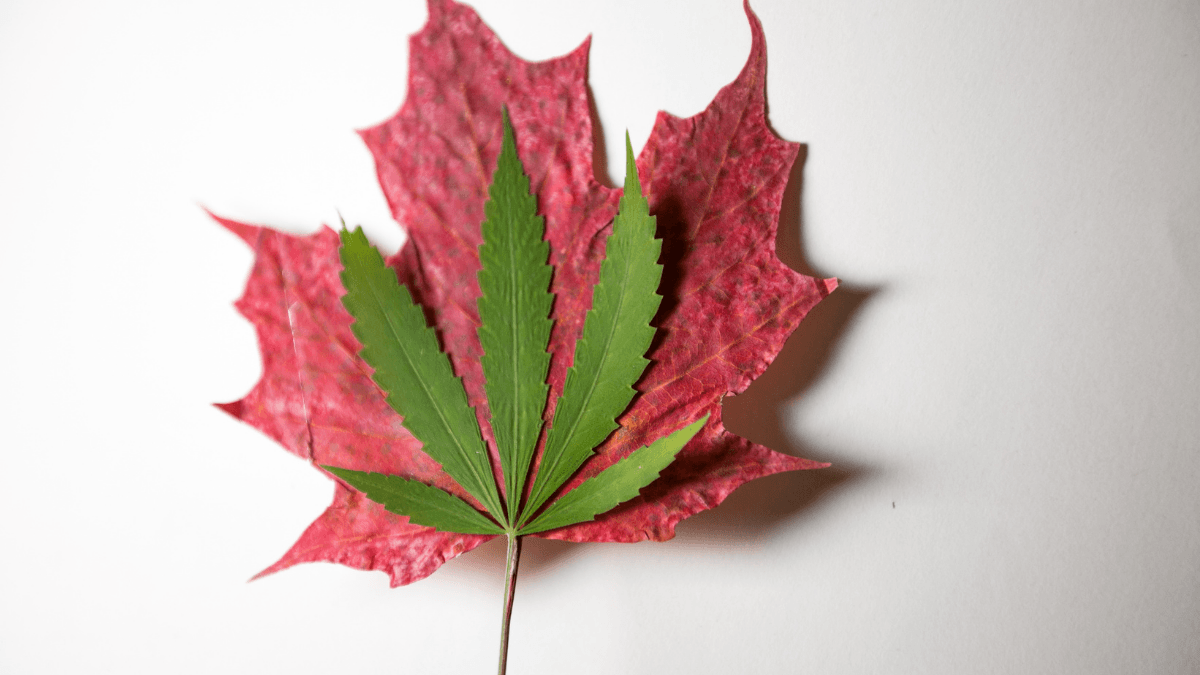 A photo of a hemp leaf on top of a red maple leaf, symbolizing Canadian hemp.